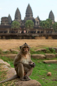 Rhesus macaque (Macaca mulatta) male in front of Angkor Wat temple, Angkor, Cambodia. March 2013 - Kristel  Richard