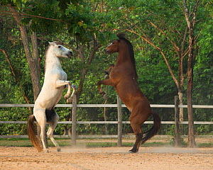 Two Cambodian Pony stallions play fighting, rearing on back legs, Siem Reap, Cambodia. March 2013 - Kristel  Richard