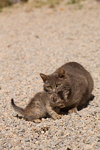 Mother cat grabbing her kitten by the neck, Montepulciano, Tuscany, Italy. - Kristel  Richard