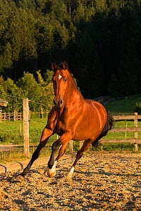 An Einsiedler / Swiss warmblood mare (Equus caballus) cantering, Schwyz, Switzerland, July. - Kristel  Richard