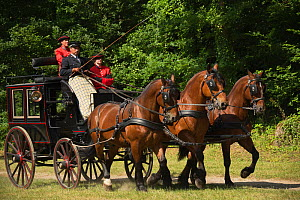 The drivingr (in black) and grooms (in red) from the Haras Du Pin, France's oldest national stud, driving three Norman Cob, harnessed to an omnibus, on the Avenue Louis XIV, at Le Pin-au-Haras, Orne,... - Kristel  Richard