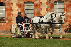 A drivingr and a groom driving two Percheron horses, harnessed to an utility cart, in the Cour D'Honneur of the Haras Du Pin, France's oldest national stud, at Le Pin-au-Haras, Orne, Lower Normandy, F...  -  Kristel  Richard