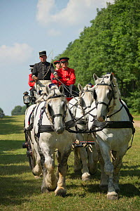 The drivingr (in black) and grooms (in red) from the Haras Du Pin, France's oldest national stud, driving four Percheron horses, harnessed to a brake, on the Avenue Louis XIV, at Le Pin-au-Haras, Orne...  -  Kristel  Richard