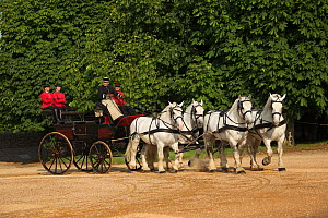 The drivingr (in black) and grooms (in red) from the Haras Du Pin, France's oldest national stud, driving four Percheron horses, harnessed to a break, in the Cour D'Honneur, at Le Pin-au-Haras, Orne,...  -  Kristel  Richard