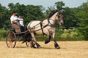 A traditionally dressed couple drivings a Mulassier Poitevin filly, at the Haras Du Pin, France's oldest national stud, at Le Pin-au-Haras, Orne, Lower Normandy, France. July 2013  -  Kristel  Richard
