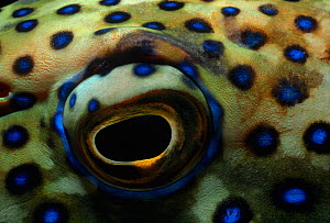 Eye of a Peacock grouper (Cephalopholis argus) Red Sea, Egypt.  -  Jeff Rotman