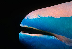 Close up of mouth of a Stoplight parrotfish (Sparisoma viride) Bahamas, Caribbean  -  Jeff Rotman