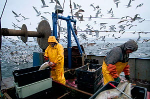Fishermen clean Atlantic Cod (Gadus morhua) on deck of fishing trawler, with herring gulls (Larus argentatus) flocking in the background. Stellwagen Banks, New England, United States, North Atlantic O... - Jeff Rotman