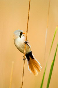 Bearded tit (Panurus biarmicus) male in summer plumage. Hungary, May - STEVE KNELL