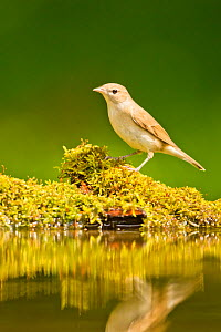 Garden warbler (Sylvia borin borin) perched near water, Hungary. May.  -  Steve Knell