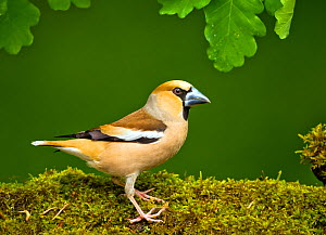 Hawfinch (Coccothraustes coccothraustes coccothraustes) male perched on moss covered log,in forest setting. Hungary, May  -  Steve Knell