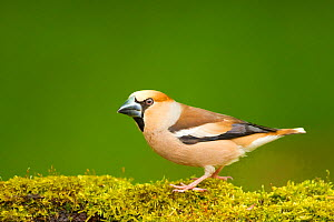Hawfinch (Coccothraustes coccothraustes coccothraustes) male perched on moss covered log Hungary, May.  -  Steve Knell