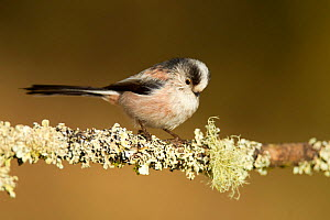 Long-tailed tit (Aegithalos caudatus rosaceus) adult perched on lichen covered twig, Lancashire, England, UK. March - STEVE KNELL