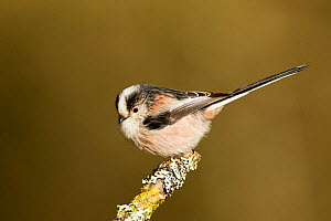 Long-tailed tit (Aegithalos caudatus rosaceus) adult perched on lichen covered twig, looking inquisitive, Lancashire, March - STEVE KNELL