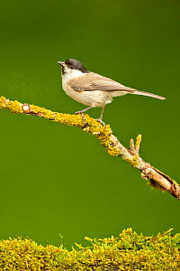Marsh Tit (Parus palustris palustris) perched in deciduous woodland, Hungary. May.  -  Steve Knell