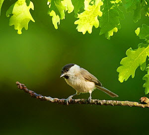 Marsh Tit (Parus palustris palustris) perched in on oak in woodland, Hungary. May.  -  Steve Knell