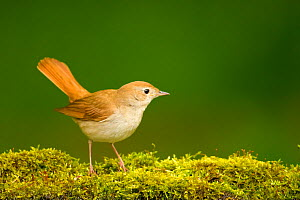 Nightingale (Luscinia megarhynchos megarhynchos) on mossy ground, Hungary. May. - STEVE KNELL