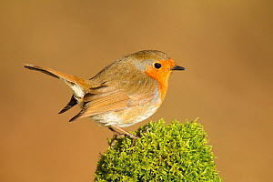 Robin (Erithacus rubecula melophilus) perched on a old moss covered log, Lancashire, England, UK. March. - STEVE KNELL