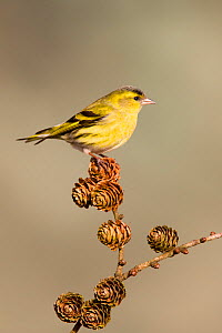 Siskin (Carduelis spinus) adult male perched on larch cone, Lancashire, March - STEVE KNELL