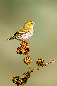 Siskin (Carduelis spinus) adult female perched on larch cone, Lancashire, Engalnd, UK. March. - STEVE KNELL