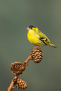Siskin (Carduelis spinus) adult male perched on larch cone, Lancashire, England, UK. March. - STEVE KNELL