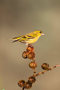 Siskin (Carduelis spinus) adult male perched on larch cone, Lancashire, England, UK, March. - STEVE KNELL
