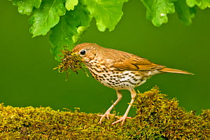 Song thrush (Turdus philomelos clarkei) gathering wet moss at edge of garden pond for nesting material. Hungary, May. - STEVE KNELL