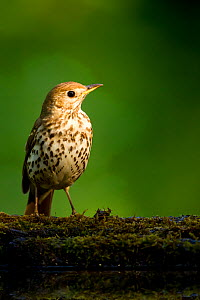 Song thrush (Turdus philomelos clarkei) portrait, Hungary, May.  -  Steve Knell