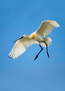 Spoonbill (Platalea leucorodia leucorodia) adult in summer plumage,in flight about to land. Hungary, May. - STEVE KNELL