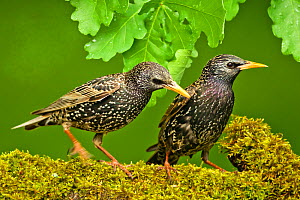 Starlings (Sturnus vulgaris vulgaris) on branch, Hungary, May - STEVE KNELL