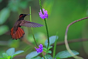Ruby Topaz (Chrysolampis mosquitus) in flight, Trinidad, Trinidad and Tobago, April  -  Robin Chittenden