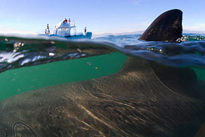 Split level shot of Great white shark (Carcharodon carcharias) fin above the water and leisure boat in the background, with Seal Island, False Bay, South Africa.  -  Chris & Monique Fallows