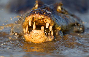 Spectacled caiman (Caiman crocodilus) feeding on fish, Pantanal, Brazil. - Chris & Monique Fallows