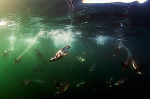 African penguins (spheniscus demersus) swimming underwater, False Bay, Cape Town, South Africa.  -  Chris & Monique Fallows