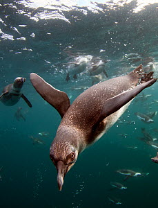 African penguins (Spheniscus demersus) diving underwater, False Bay, Cape Town, South Africa.  -  Chris & Monique Fallows
