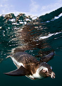 African penguin (Spheniscus demersus) diving underwater, False Bay, Cape Town, South Africa. - Chris & Monique Fallows
