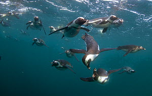African penguins (Spheniscus demersus) hunting underwater, False Bay, Cape Town, South Africa. - Chris & Monique Fallows