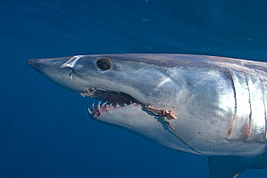 Mako Shark (Isurus oxyrinchus) with longline hooks in mouth, Cape Point, South Africa.  -  Chris & Monique Fallows