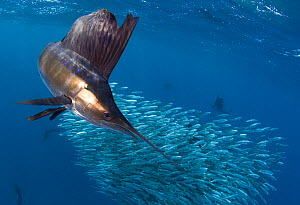 Indo Pacific Sailfish (Istiophorus platypterus) feeding on sardines, Isla Mujeres, Mexico. - Chris & Monique Fallows