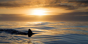 Great white shark (Carcharodon carcharias) cruising on the surface at sunset, Dyer Island, Gansbaai, South Africa  -  Chris & Monique Fallows