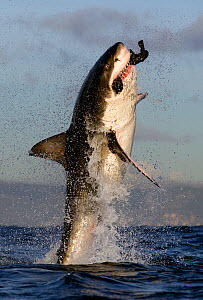 Great white shark (Carcharodon carcharias) breaching whilst attacking seal decoy, Seal Island, False Bay South Africa. - Chris & Monique Fallows