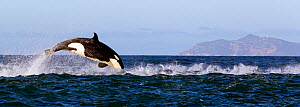 Orca (Orcinus orca) porpoising, False Bay, South Africa. - Chris & Monique Fallows
