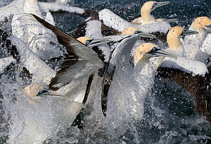 Cape Gannets (Morus capensis) feeding on sardines, False Bay, Cape Town, South Africa. - Chris & Monique Fallows