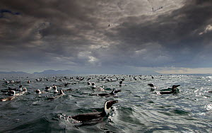 African penguin (Spheniscus demersus) group at surface with cloudy sky, False Bay, Cape Town, South Africa. - Chris & Monique Fallows