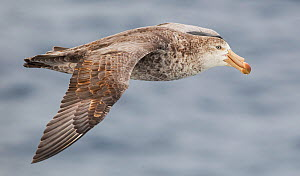Northern Giant Petrel (Macronectes halli) in flight, Southern Ocean.  -  Chris & Monique Fallows