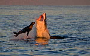 Great white shark (Carcharodon carcharias) attacking Cape fur seal (Arctocephalus pusillus) Seal Island South Africa. - Chris & Monique Fallows