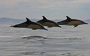 Three Common dolphins (Dephinus delphis) porpoising, False Bay, Cape Town, South Africa. - Chris & Monique Fallows