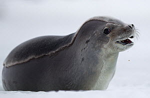 Crabeater seal (Lobodon carcinophaga) on shore, Antarctic Peninsula, Antarctica.  -  Chris & Monique Fallows
