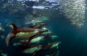 Common dolphin (Dephinus delphis) feeding on sardines (Sardinops oecllata) East London, South Africa. - Chris & Monique Fallows