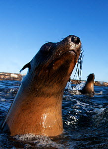 Cape fur seal (Arctocephalus pussilus) portrait, at water surface, Seal Island, False Bay, Cape Town, South Africa.  -  Chris & Monique Fallows